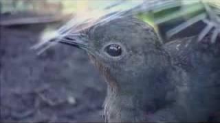 Adelaide Zoo lyrebird
