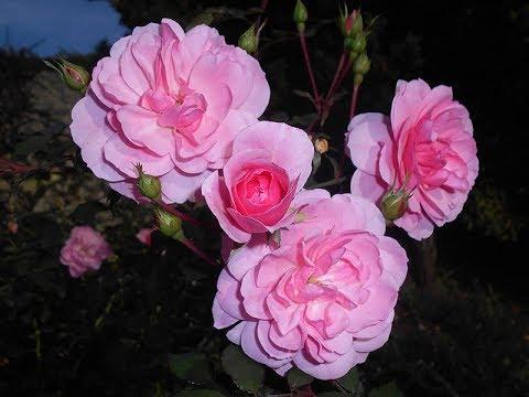 Amazing and Most Beautiful Rosa 'Bonica 82' Flowers