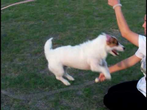 Double Dutch Dog Jack Russell Terrier