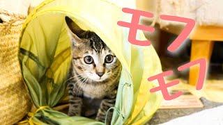 【猫暮らしvlog】生後4ヵ月のモフモフの子猫【子猫・保護猫動画】