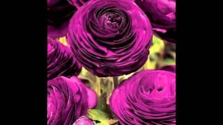 Masoud Mohammadi - Golbaxi (Garden flowers)
