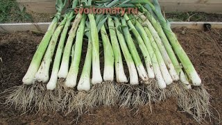 Выращивание лука-порея(Подробнее я написал в статье: http://svoitomaty.ru/luk-porej-vyrashhivaem-legko/, 2014-09-20T09:37:53.000Z)