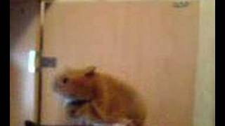 pressured hamster puppet  dance