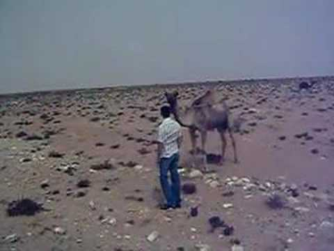 Camel on Western Sahara