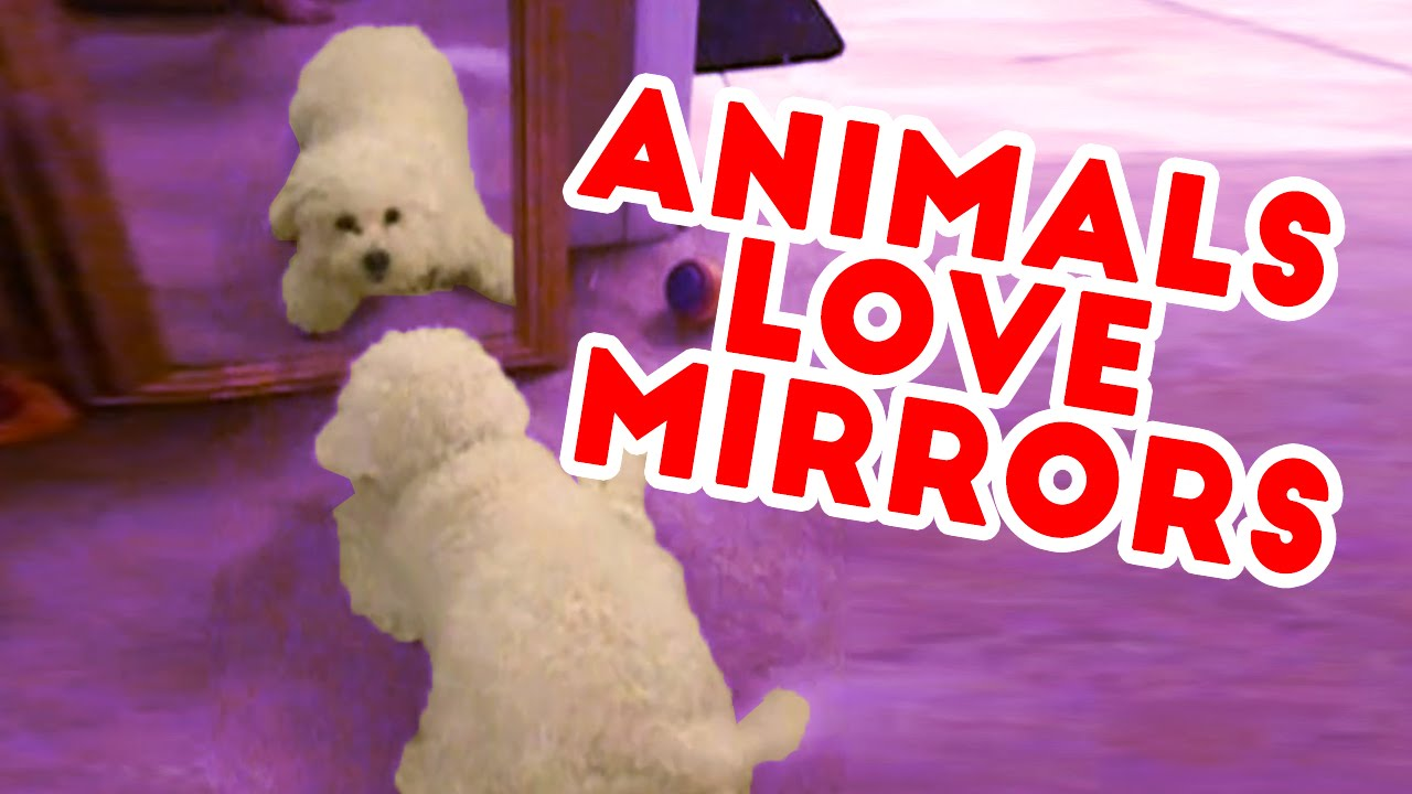 Funny Pets & Animals vs Mirrors Reaction Videos of 2016 Weekly Compilation | Funny Pet Videos