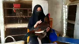 Shamo Aseel Hen with Rooster Collection