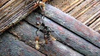 Ants vs termites: Army ants attack termite nest HQ version.mov