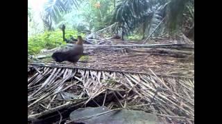 Ayam Hutan Pikat Betina 22
