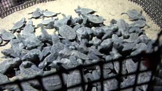 Baby Turtles Hatching at Mon Repos