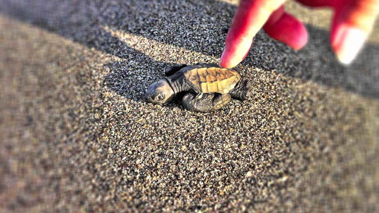 Cute baby turtles on the beach