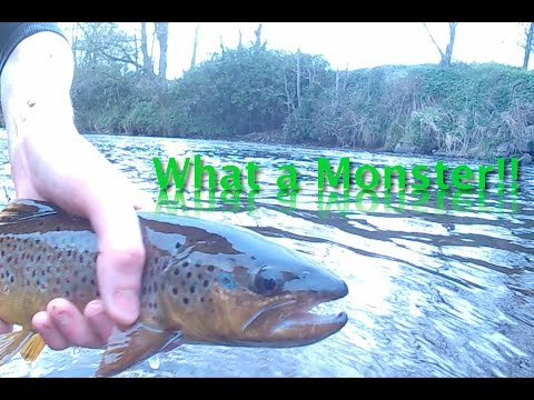 Monster Brown Trout   Ireland River Fishing