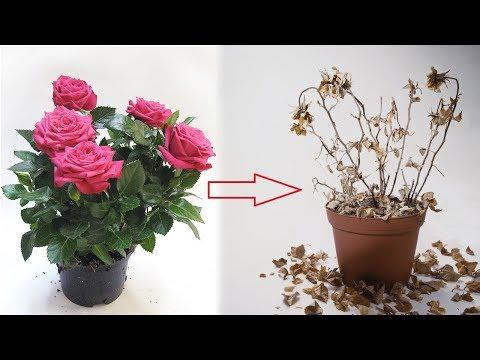Как спасти розу в горшке