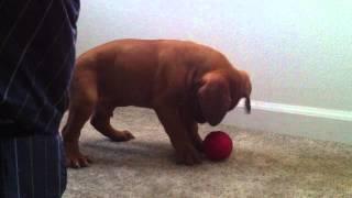 Dogue De Bordeaux Puppy Vs. Red Ball