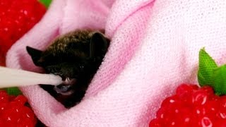 Baby bat Mimi  love the milk
