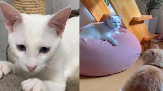INNOCENT JAPANESE BOBTAIL CATS