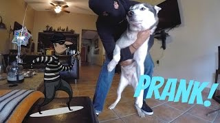 Burglar PRANK on my Dog! - Are Huskies Good Guard Dogs?