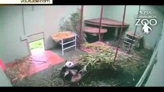 Ленивая панда стала хитом Интернета(, 2015-06-22T10:10:29.000Z)