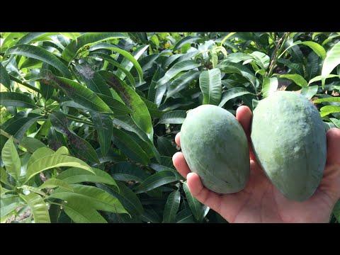 Epic Mango Tree Growing in Phoenix, Arizona
