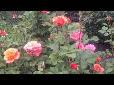 Kristis Rose Garden Tour