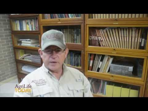 Texas A&M AgriLife wheat releases announced