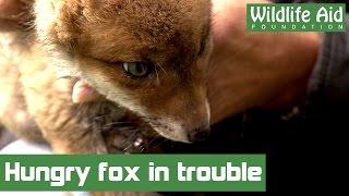 Very cute baby fox in trouble!