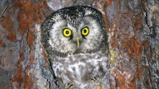 Сыч мохноногий (Aegolius funereus) - Boreal owl