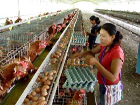 Granja avicola san diego de alcala mazamari youtube for Como hacer una granja de peces