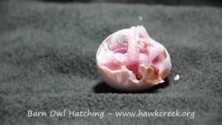 BARN OWL EGG HATCHING Hawk Creek Wildlife Center's breeding project.  Time elapsed barn owl egg hatching.