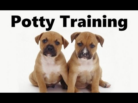 How To Potty Train A Staffordshire Bull Terrier Puppy Training