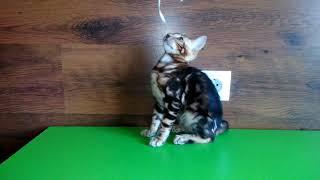 Бенгальский мраморный котёнок!