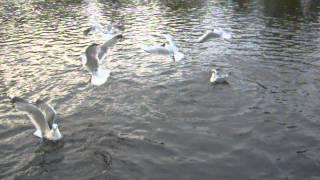 голодные чайки