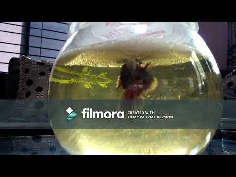 Betta fish breeding in a fish bowl