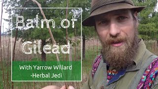 Benefits and Use of Balm of Gilead with Herbalist Yarrow Willard   Harmonic Arts