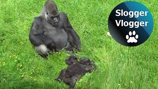 Cheeky Baby Gorilla Trolls Adult Silverback