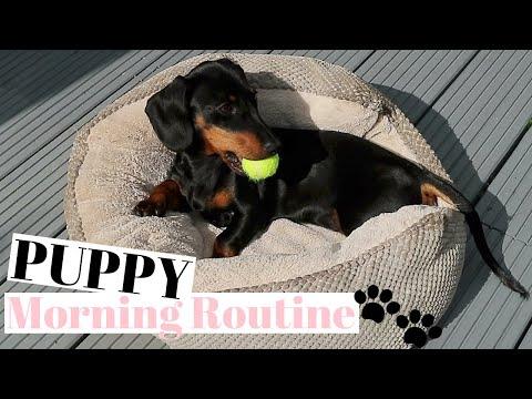 PUPPY MORNING ROUTINE MINIATURE DACHSHUND PUPPY!