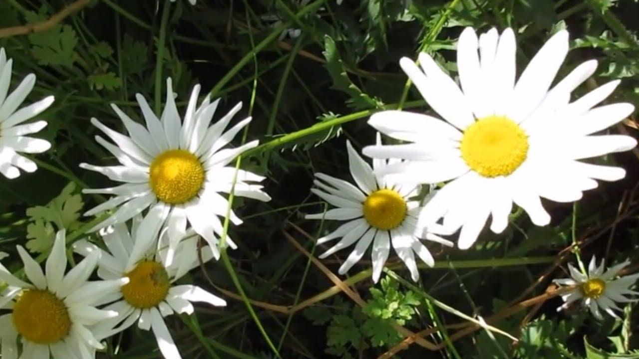 Wild daisy flowers youtube wild daisy flowers izmirmasajfo
