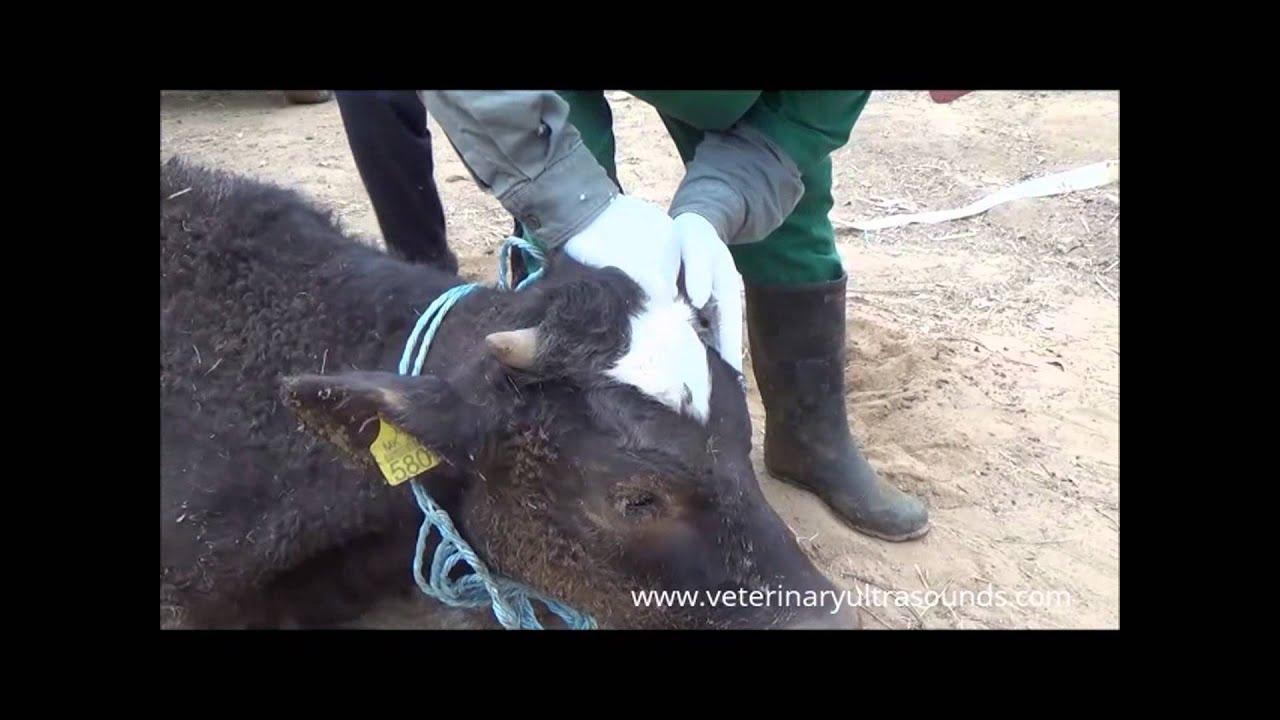tânăra de vite  boala)