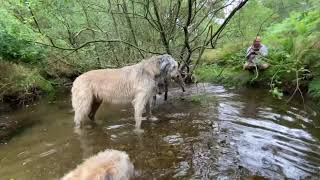 Irish Wolfhounds Nell reintroduced to her brother & sister