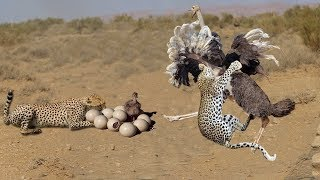 Very touching story | Mother Ostrich Don't Protect Her Newborn From Cheetah, Lion Hunting