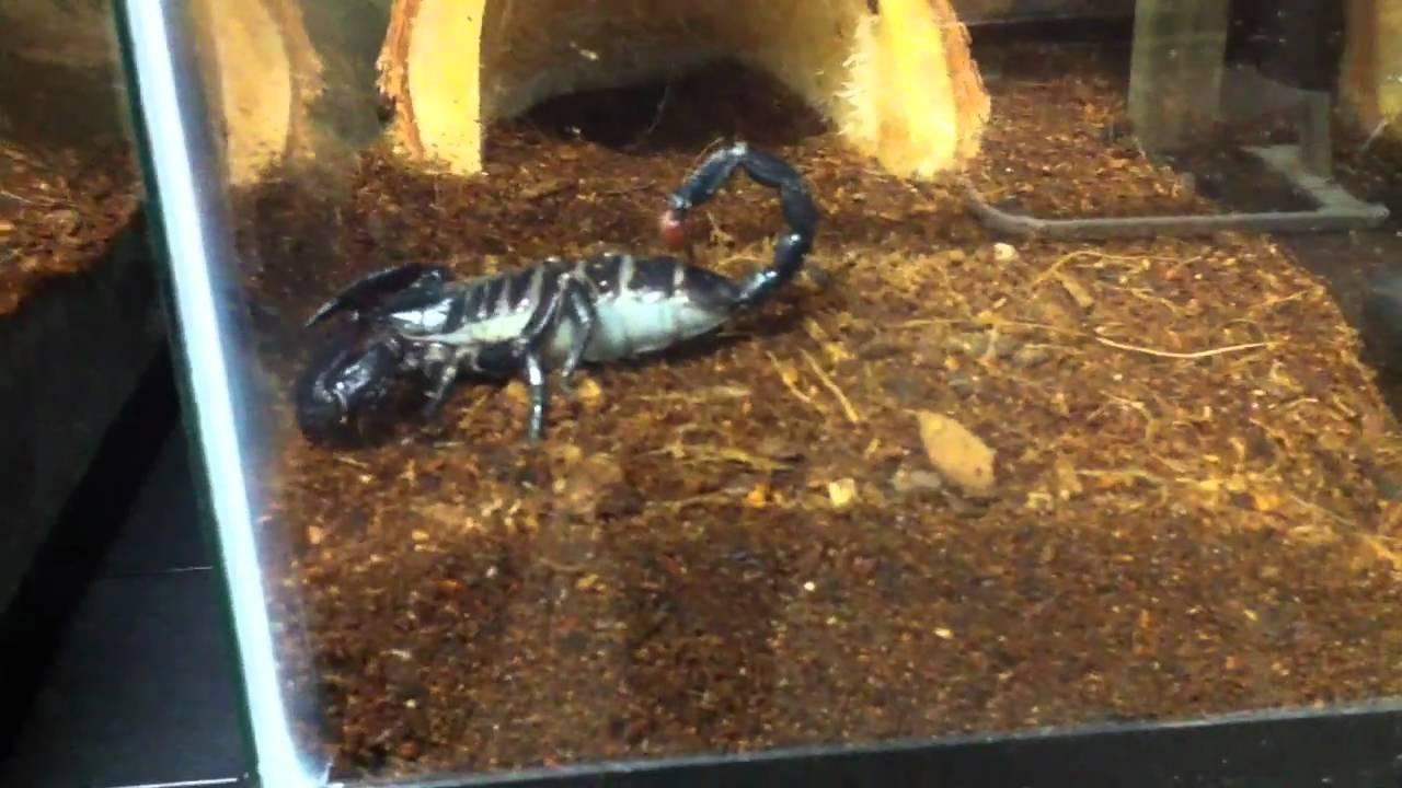 Gravid Emperor Scorpion.MOV - YouTube