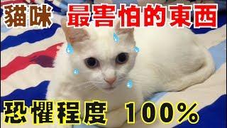 【豆漿 - SoybeanMilk】貓咪的天敵? 看到嚇到瞳孔放大