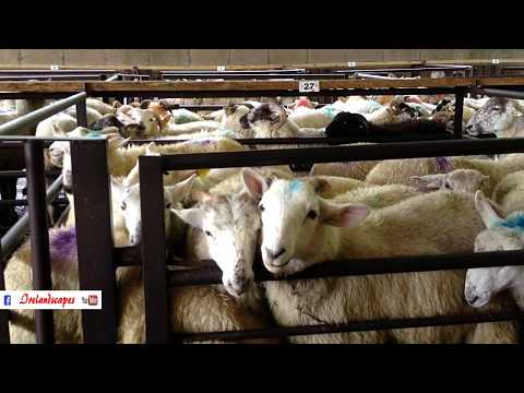 Ireland Sheep Livestock Auction Midlands - Traditional Music Landscape Scenery