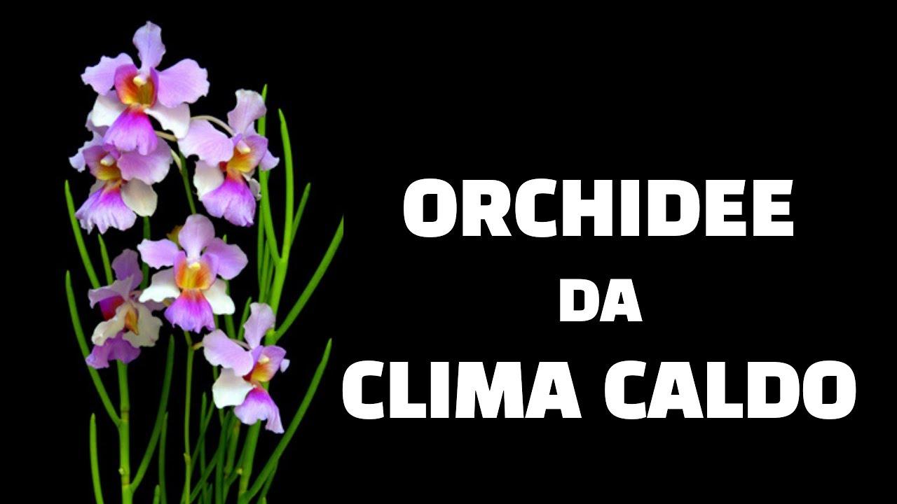 Orchidee Meravigliose Trucchi E Segreti orchidee da clima caldo