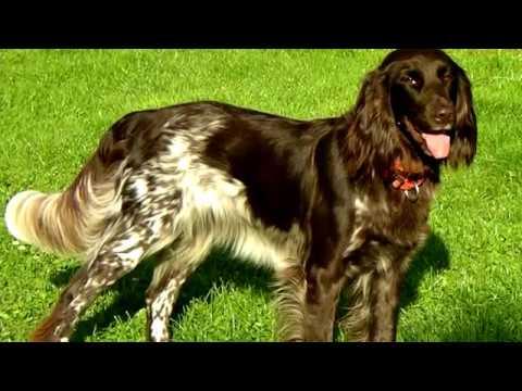 Порода собак. Вахтельхунд. Имеет сильный охотничий инстинкт и острый нюх
