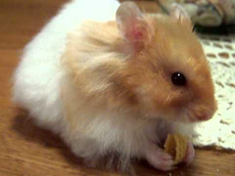 Teddy Bear Hamster Exploring