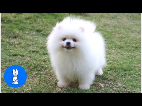Fluffy Pomeranians Being CUTE // TRY NOT TO AWW!