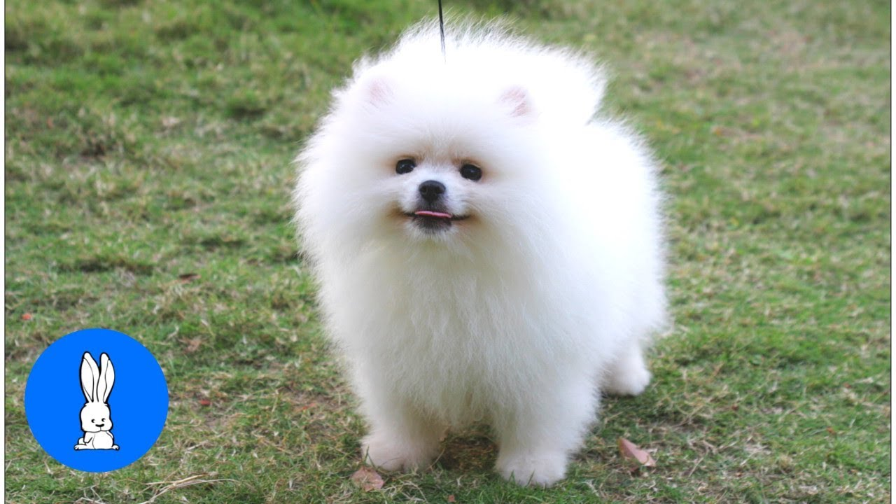 Fluffy Pomeranians Being Cute Try Not To Aww Youtube