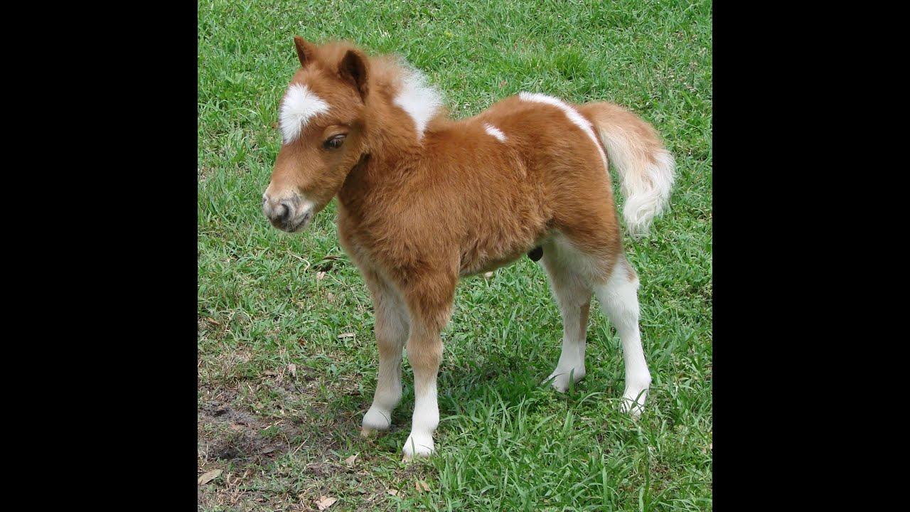 Baby miniature horses