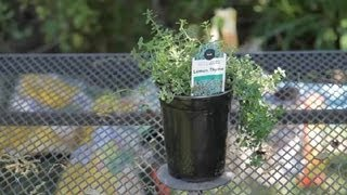 How to Rejuvenate Thyme : Garden Space