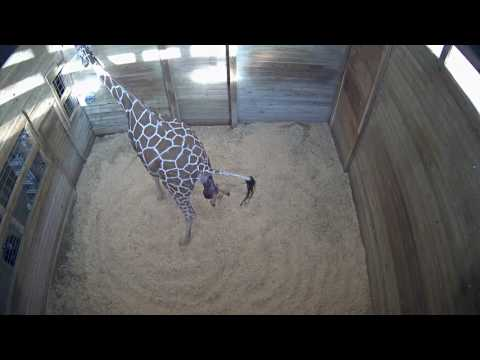Thumbnail: Baby Giraffe Born at Blank Park Zoo